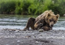 Bear cub Royalty Free Stock Photos