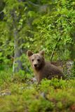 Bear cub sitting in the forest Royalty Free Stock Image