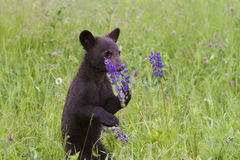 Bear Cub Smelling Purple Lupine Royalty Free Stock Images