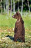 The bear cub standing on hinder legs. Ursus Arctos ( Brown Bear) . Green forest background. natural habitat royalty free stock photo