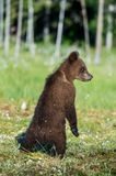 Bear cub stood up on its hind legs. Cub of Brown bear (Ursus Arctos Arctos) in the summer forest. Natural green Background Stock Images