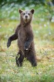 Bear cub stood up on its hind legs. Cub of Brown bear (Ursus Arctos Arctos) in the summer forest. Natural green Background Royalty Free Stock Photo