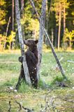 Bear cub stood up on its hind legs. Cub of Brown bear (Ursus Arctos Arctos) in the summer forest. Natural green Background Stock Photos