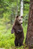Bear cub stood up on its hind legs. Cub of Brown bear (Ursus Arctos Arctos) in the summer forest. Natural green Background Stock Photo