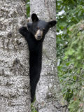 Bear Cub in Tree Royalty Free Stock Images