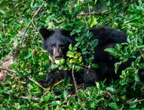 Bear Cub in a tree Stock Photo