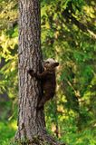 Bear cub on tree Royalty Free Stock Photos