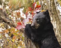 Bear Cub in a Tree with Red Leaves Stock Images