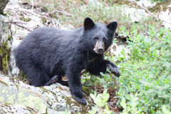 Bear Cub. This bear cub was seen in the mountains of British Columbia, Canada in the summer of 2013 Royalty Free Stock Photography