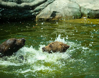 Bear Cub  in water Royalty Free Stock Photography