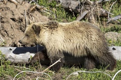 A bear cub in yellowstone Royalty Free Stock Photos