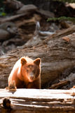 Bear cub in Yosemite Stock Image