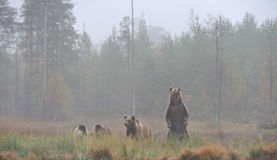 Bear with cubs Royalty Free Stock Photography