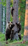 Bear with cubs. Climbing a tree Stock Images