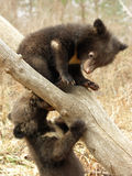 Bear cubs. In the center of rehabilitation of animals Royalty Free Stock Images