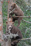 Bear Cubs. Two Grizzly Cubs climbing a tree in the Katmai National Park in Alaska Royalty Free Stock Photos