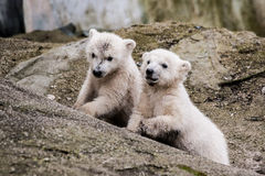 Polar bear cubs. In Brno ZOO royalty free stock image