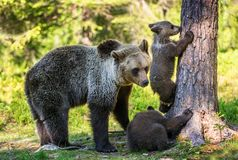 She-Bear and Cubs. Brown bear. stock image