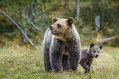 She-Bear and Cubs of Brown bear. Ursus Arctos Arctos on the swamp in the summer forest. Natural green Background Royalty Free Stock Photo