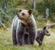 She-Bear and Cubs in the summer forest. She-Bear and Cubs of Brown bear Ursus Arctos Arctos on the swamp in the summer forest. Natural green Background Royalty Free Stock Image