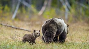 She-Bear and Cubs in the summer forest. She-Bear and Cubs of Brown bear Ursus Arctos Arctos on the swamp in the summer forest. Natural green Background Royalty Free Stock Photo
