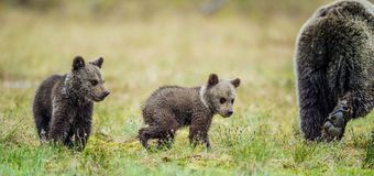 She-Bear and Cubs in the summer forest. She-Bear and Cubs of Brown bear Ursus Arctos Arctos on the swamp in the summer forest. Natural green Background Stock Images