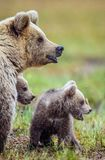Closeup portrait of She-Bear and Cubs. She-Bear and Cubs of Brown bear Ursus Arctos Arctos on the swamp in the summer forest. Natural green Background Stock Photo