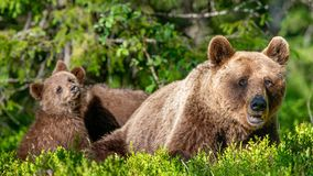 She-Bear and Cubs of Brown bear in the summer forest. Natural habitat. Scientific name: Ursus Arctos Arctos.  royalty free stock photos