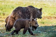 She-Bear and Cubs Stock Photography