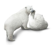 Bear cubs fight. Two polar bear cubs fight. isolated on white royalty free stock photography