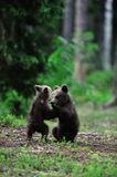 Bear cubs fighting Stock Photo