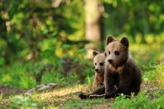 Bear cubs in forest Stock Photography
