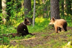 Bear cubs in forest Stock Image
