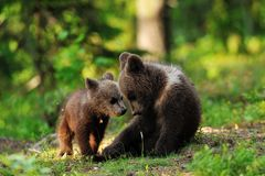 Bear cubs in forest in summer Stock Photo