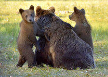 Bear cubs hide for a she-bear. Royalty Free Stock Image