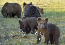 Bear cubs hide for a she-bear. Royalty Free Stock Photo