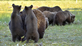 Bear cubs hide for a she-bear Stock Photography
