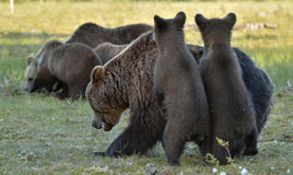 Bear cubs hide for a she-bear. She-bear and bear-cubs. Adult female of Brown Bear (Ursus arctos) with cubs on the swamp Stock Images