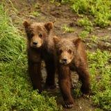 Bear cubs in katmai. National park, alaska Royalty Free Stock Photo