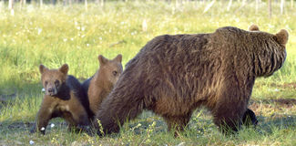 Bear cubs and mother she-bear Stock Images