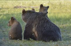 Bear cubs and mother she-bear Stock Photo