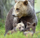 Bear cubs and mother she-bear in the summer forest. Stock Image