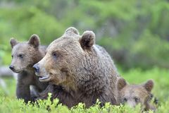 Bear cubs and mother she-bear in the summer forest. Stock Photos