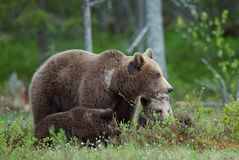 Bear cubs and mother she-bear Royalty Free Stock Photography