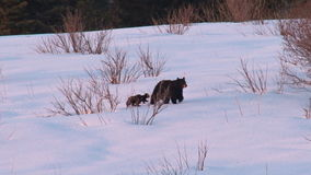Bear cubs and mother walking through snowy wilderness
