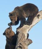 Bear cubs play Royalty Free Stock Photos