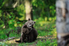 Bear cubs playing Stock Photos