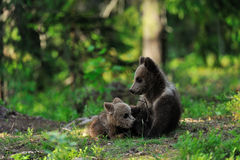 Bear cubs playing Royalty Free Stock Photos