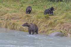Bear Cubs Playing while Mom is Fishing Stock Photo