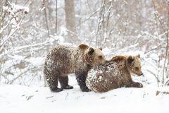 Bear cubs playing in snow. Animal, mammal, wild, wildlife, cute, arctic, polar, winter, young, predator, family, baby, carnivore, nature, playful, little stock image